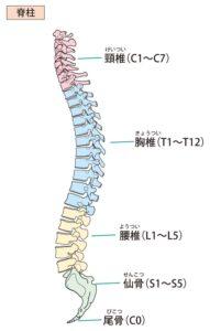 脊柱(頚椎・胸椎・腰椎)の解剖図