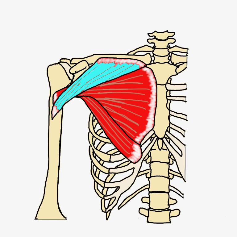 大胸筋鎖骨部の解剖学図