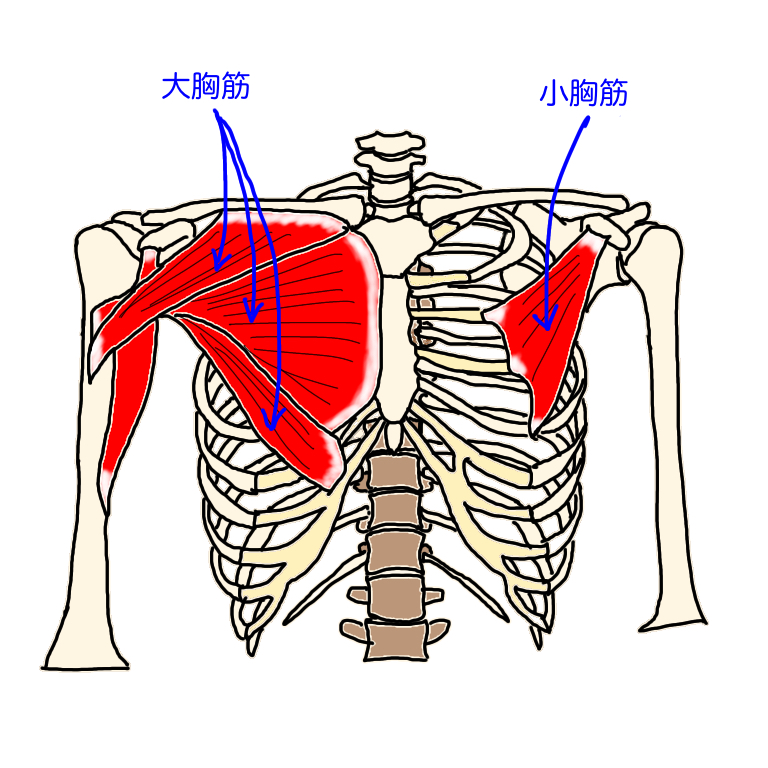 大胸筋と小胸筋は巻き肩・猫背になると硬くなりやすい筋肉になります。硬くなることで腕の疲労感が強くなったり、背中の張りが出る原因となります。