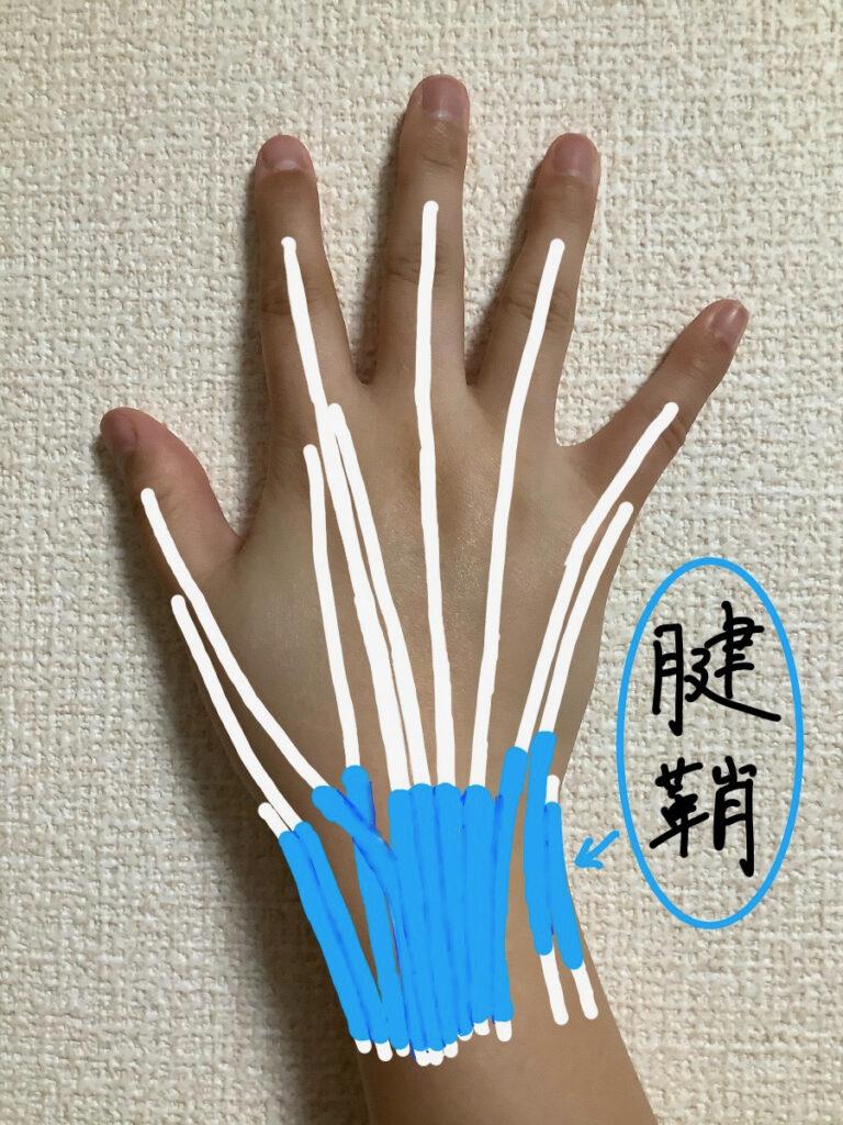 手背側の腱鞘の位置
