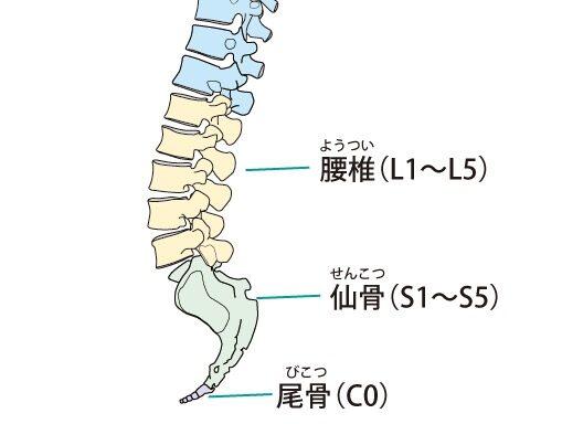 腰椎は5つあり、前弯している。