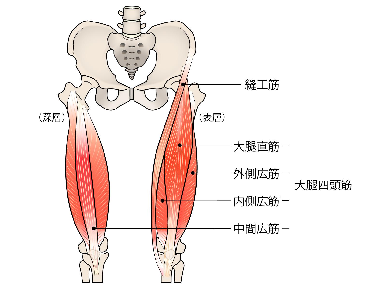太ももの筋肉である大腿四頭筋は、大腿直筋・中間広筋・外側広筋・内側広筋にて構成されています。