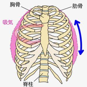 息を吸い込む際に肋骨が動きますが、その動きの一つとしてバケツハンドル運動という動きがあります。
